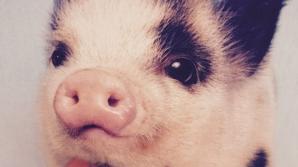 Testul porcului îţi arată cât eşti de bun/ă la pat!