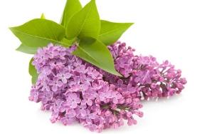 Tratamente naturiste cu flori şi frunze de liliac. Vindecă sute de boli