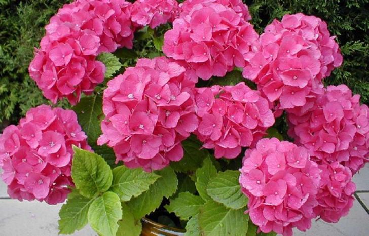 11 lucruri pe care nu le ştiai despre hortensii