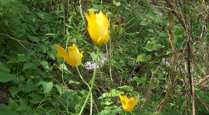 A înflorit laleaua galbenă, specie unică în lume