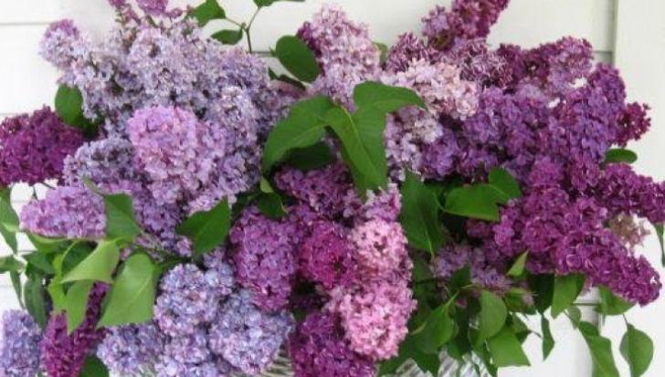 """Liliacul, """"floarea memoriei"""". Ce se întâmplă dacă miroşi o floare de liliac"""