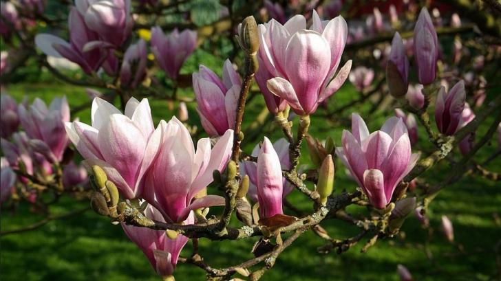 Este foarte frumoasă, dar are şi proprietăţi vindecătoare. Sigur nu ştiai asta despre magnolie!