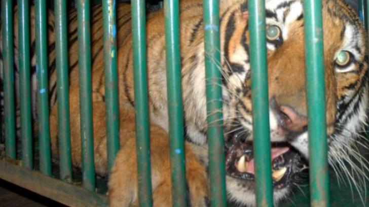 Anunţ de ultimă oră! Ce s-a întâmplat cu cei doi tigri care au evadat dintr-un adăpost din Olanda