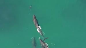 VIDEO INCREDIBIL. Mai multe balene urmăresc un rechin. Una îl prinde şi ... s-a terminat cu el