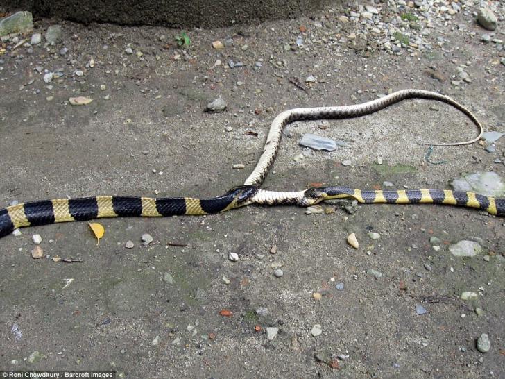 Luptă incredibilă între șerpi veninoși. Ce se întâmplă. Nu oricine poate privi imaginile