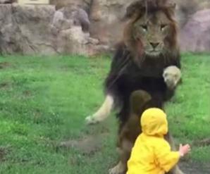 Leul fioros atacă un copil