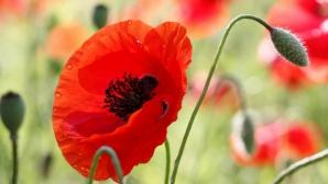 Ce beneficii are macul, cea mai fragilă floare de câmp
