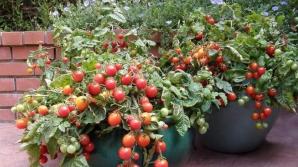 Cum să creşti răsaduri de roşii în ghivece