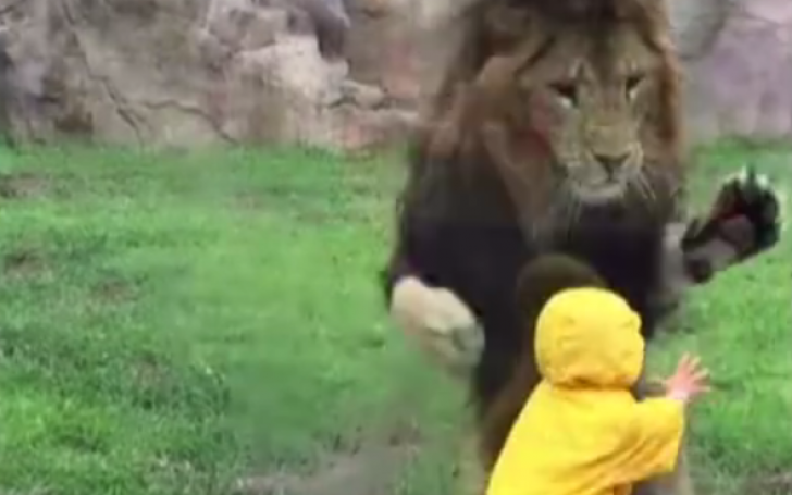 Leul la atac
