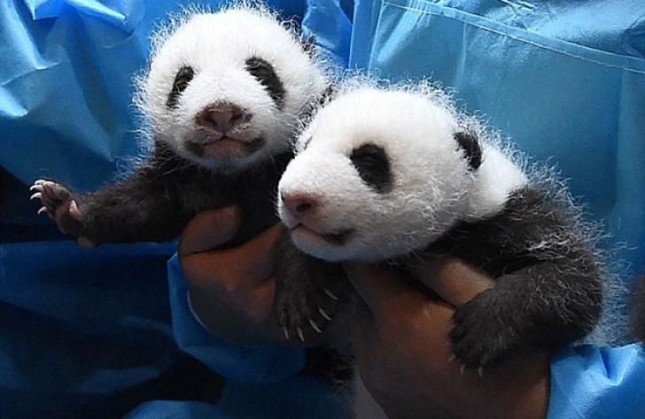 Gemeni Panda