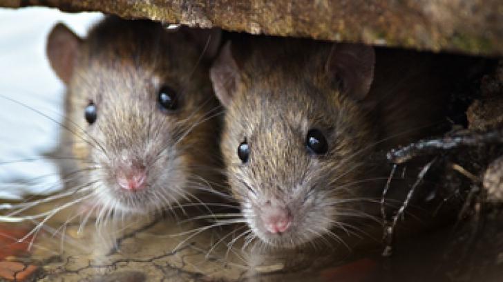 Ce înseamnă când visezi şoareci sau şobolani. Semn bun sau semn rău?