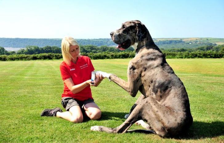 Cum arată cel mai mare câine din lume. Doarme 22 de ore pe zi şi are o dietă specială