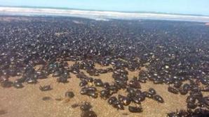 """""""Cred că e sfârșitul lumii"""". Plaja pe care erau s-a umplut, brusc, cu milioane de gândaci. FOTO"""