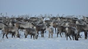 Focar de antrax în nordul Siberiei. Autorităţile ruse sunt în alertă