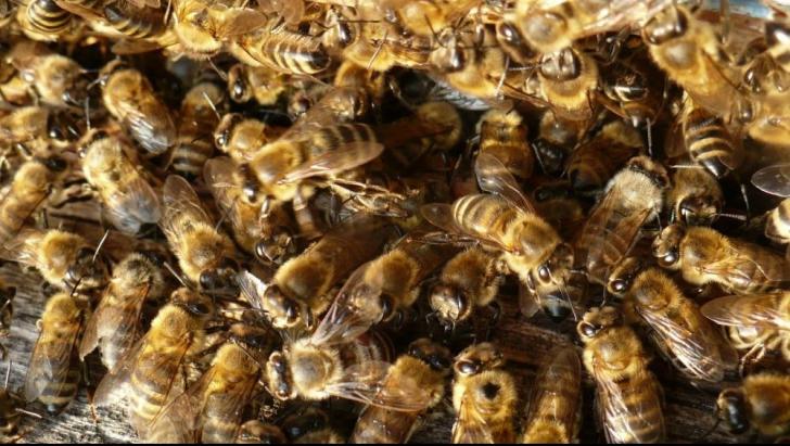 Ce poţi trata cu venin de albine. Nici nu îți imaginezi ce efect are asupra organismului!