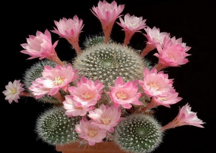 Cum să uzi CORECT cactuşii pentru a face cele mai frumoase flori