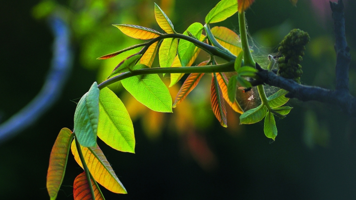 Frunzele de nuc opresc căderea părului