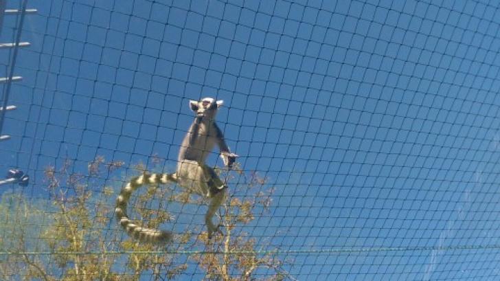 ZOO cu regim semideschis: aventura unui lemurian la Grădina Zoologică din Sibiu VIDEO