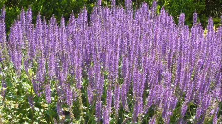 Plante medicinale care poartă numele Sfintei Maria. Ce boli vindecă