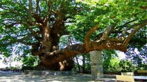Copac de 1.000 de ani
