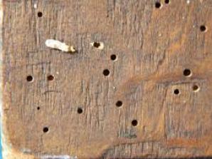 Cum îţi dai seama că mobila ta are carii de lemn