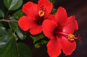Adaugă ASTA în apa cu care uzi trandafirul japonez şi va avea flori tot anul