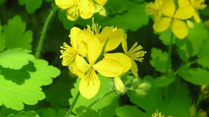Rostopasca, planta care te ajută în peste 150 de afecţiuni. Vindecă bolile de ficat şi cancerul