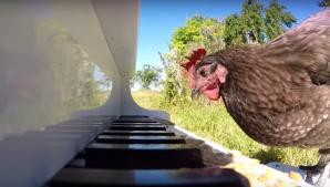 INCREDIBIL. O găină cântă la pian. Iată ce ce rapsodie a compus! Este uimitor