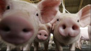 Traditii şi obiceiuri de IGNAT: De ce se taie porcul pe 20 decembrie