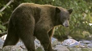 Şeful Poliţiei explică cine şi de ce a dat ordin să fie împuşcat ursul din Sibiu