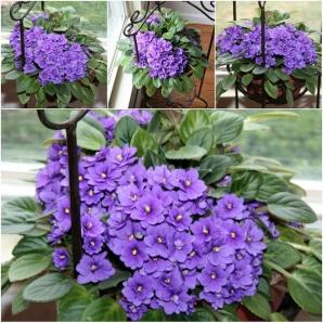 Cum să ai cele mai frumoase violete de Parma. Secretul ştiut de cele mai pricepute florărese