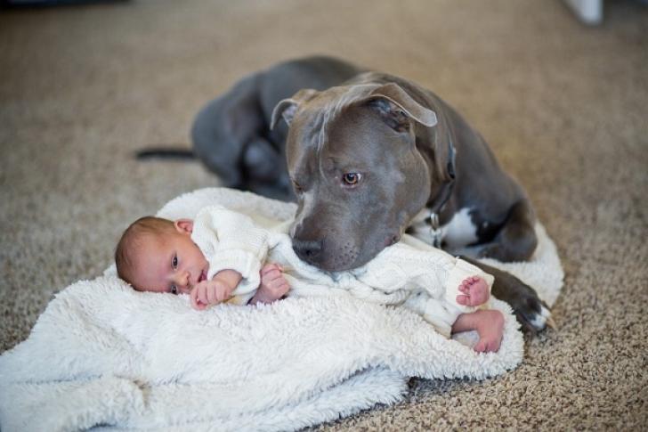 GROAZNIC! I-a spus soţiei să nu lase pitbull-ul lângă bebe. Dar l-a aşezat pe jos. ŞOC ce urmează