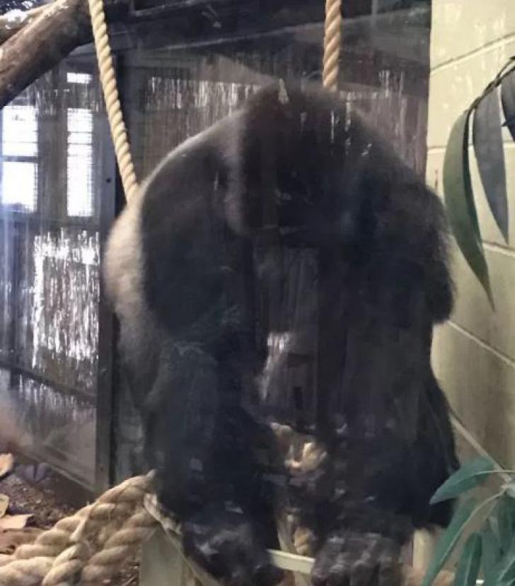Autorităţile londoneze, în alertă! O gorilă a evadat de la Zoo