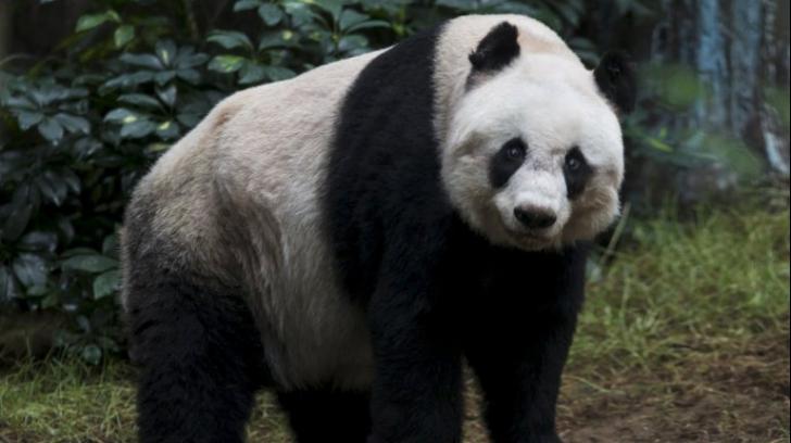 S-a stins din viață cel mai vârstnic urs panda. Aveam 38 de ani, echivalentul a 110 ani umani