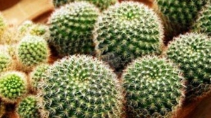 Ce se întâmplă dacă dormi cu un cactus în cameră