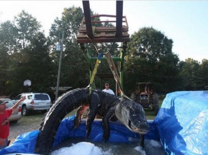 Au capturat cel mai mare aligator, dar, când l-au despicat, au încremenit! Ce au găsit în interior