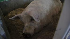 Au vrut să taie porcul, însă ce a urmat este şocant. Ce a făcut animalul?