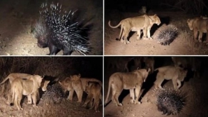 VIDEO ŞOCANT: Un porc spinos se luptă cu 17 lei flămânzi. Cine câştigă?