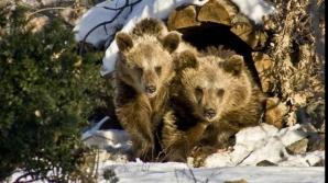 Ce obiceiuri trebui respectate în luna februarie: Ce este Ziua Ursului?
