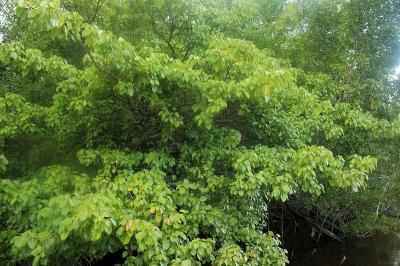 """Cel mai periculos copac din lume: """"ATACĂ"""" la câţiva metri distanţă şi aerul din jurul său e toxic"""