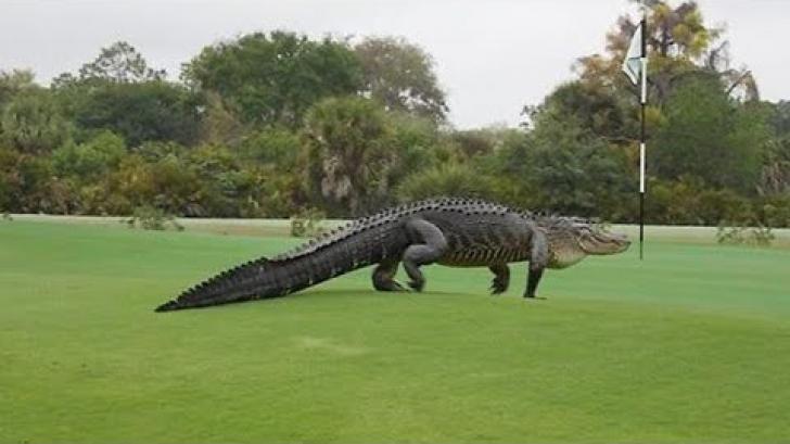 Un aligator uriaş a fost surprins în Florida