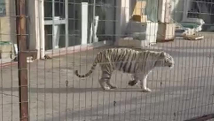 Panică în Sicilia: un tigru a evadat de la circ şi s-a plimbat pe străzile oraşului