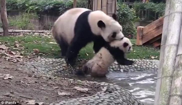 Filmuleţ amuzant, surprins la Zoo: ce face un ursuleţ Panda care nu vrea să fie spălat de mamă