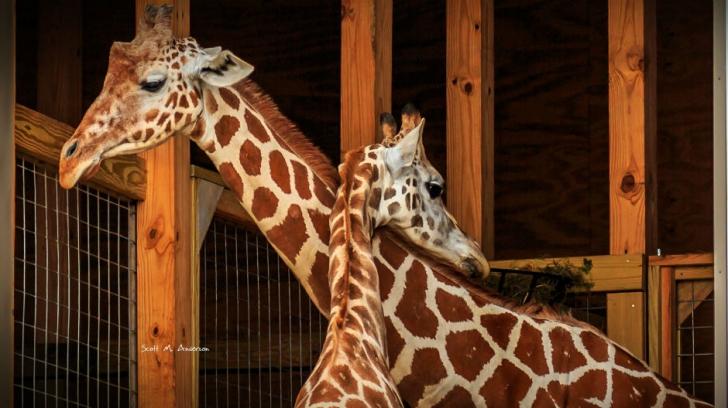 Girafă acuzată de nuditate! Motivul incredibil pentru care s-a cenzurat un clip de la zoo