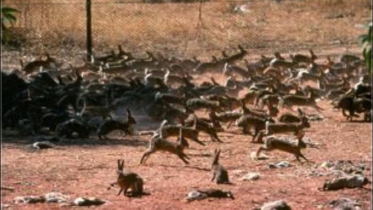 Morcovi infectați cu un virus letal pentru combaterea suprapopulării cu iepuri sălbatici