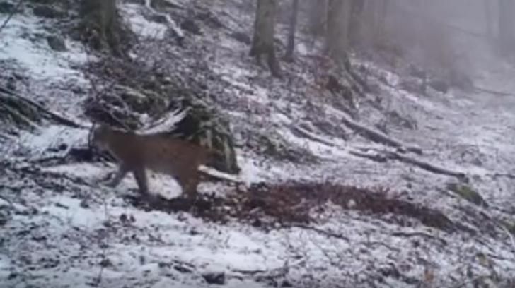 Surpriza pentru pădurari - ce animal extrem de RAR a fost surprins de camere, în România
