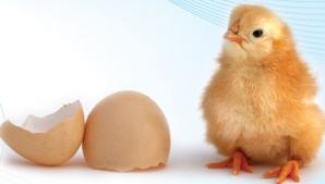 Care a fost primul, oul sau găina? O dilemă veche de mii de ani a fost lămurită