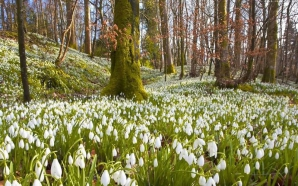 Poiana cu 10 hectare de ghiocei. IMAGINI SUPERBE cu unul dintre cele mai frumoase locuri din România