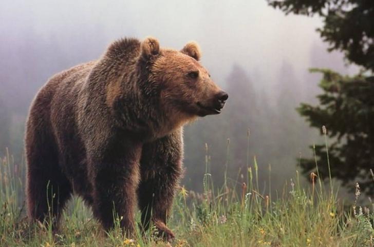 A salvat un pui de urs rămas orfan. După 6 ani, animalul i-a făcut ceva incredibil!
