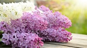 Tratamente naturiste cu flori şi frunze de liliac. Vindecă sute de boli, DE SECOLE!